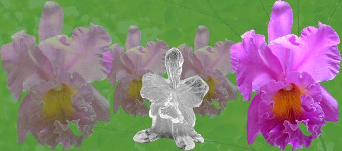 Destaque-orquidea