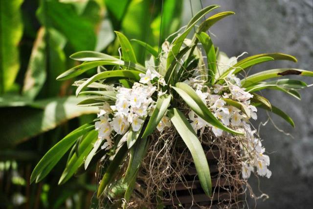 Rodriguesia-venustaa - Cópia
